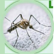 mosquitos1